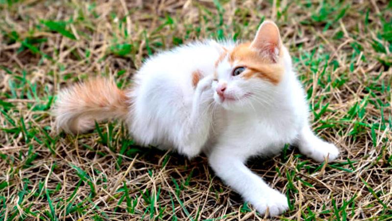 котенок подцепил блох